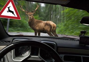 Ein Hirsch auf der Straße, aus der Sicht eines Autofahrers